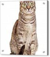 Sitting Gray Tabby Cat Acrylic Print by Susan  Schmitz