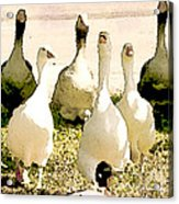 Six Geese And A Duck Acrylic Print by Artist and Photographer Laura Wrede