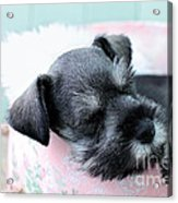 Sleeping Mini Schnauzer Acrylic Print by Stephanie Frey
