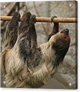 Sloth Acrylic Print by Ellen Henneke