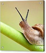 Snail On Green Stem Acrylic Print by Johan Swanepoel