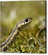 Snake Encounter Close-up Acrylic Print by Christina Rollo