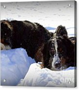 Snow Eaters Acrylic Print by Patti Whitten