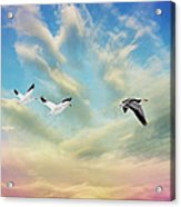 Snow Geese Over New Melle Acrylic Print by Bill Tiepelman