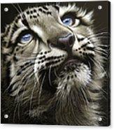 Snow Leopard Cub Acrylic Print by Jurek Zamoyski
