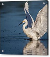 Snowy Egret Frolicking In The Water Acrylic Print by Andres Leon