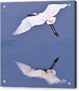Snowy Egret In Flight Acrylic Print by Robert Jensen