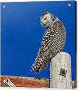 Snowy Owl Acrylic Print by Everet Regal