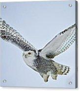 Snowy Owl In Flight Acrylic Print by Everet Regal