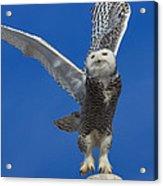 Snowy Owl Taking Flight Acrylic Print by Everet Regal