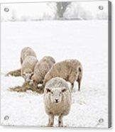 Snowy Sheep Acrylic Print by Anne Gilbert