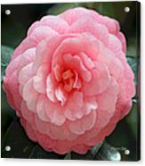 Soft And Pink Acrylic Print by Suzanne Gaff