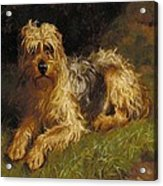 Soft Coated Wheaten Terrier  Acrylic Print by Alfred Duke