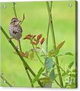 Song Sparrow Acrylic Print by Rima Biswas