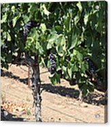 Sonoma Vineyards In August In The Sonoma California Wine Country 5d24487 Acrylic Print by Wingsdomain Art and Photography