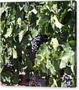 Sonoma Vineyards In The Sonoma California Wine Country 5d24489 Acrylic Print by Wingsdomain Art and Photography