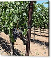 Sonoma Vineyards In The Sonoma California Wine Country 5d24490 Acrylic Print by Wingsdomain Art and Photography