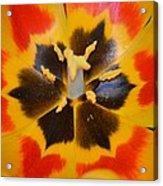 Soul Of A Tulip Acrylic Print by Sonali Gangane