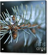 Sparkling Pine Acrylic Print by Darren Fisher
