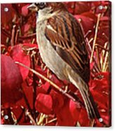 Sparrow Acrylic Print by Rona Black