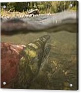 Spawned Out Sockeye Salmon In Quartz Acrylic Print by Scott Dickerson