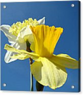 Spring Blue Sky Yellow Daffodil Flowers Art Prints Acrylic Print by Baslee Troutman