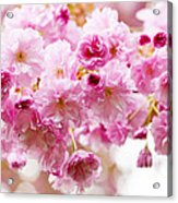 Spring Cherry Blossoms  Acrylic Print by Elena Elisseeva