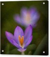 Spring Crocus Glow Acrylic Print by Mike Reid