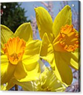 Spring Orange Yellow Daffodil Flowers Art Prints Acrylic Print by Baslee Troutman
