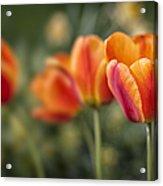 Spring Tulips Acrylic Print by Adam Romanowicz