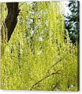 Spring Weeping Willow Acrylic Print by Will Borden