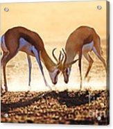 Springbok Dual In Dust Acrylic Print by Johan Swanepoel