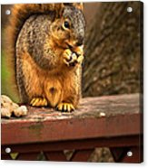 Squirrel Eating A Peanut Acrylic Print by  Onyonet  Photo Studios