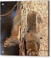 Squirrels Acrylic Print by Eric Abernethy