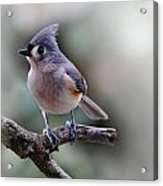 Sring Time Titmouse Acrylic Print by Skip Willits