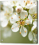 St Lucie Cherry Blossom Acrylic Print by Anne Gilbert