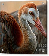 Staying Close To Mom Acrylic Print by Carol Groenen