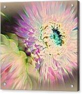 Strawflower Awakening Acrylic Print by Shirley Sirois