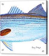 Striped Bass Acrylic Print by Carey Chen