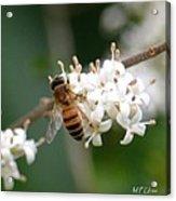 Study Of A Bee Acrylic Print by Maria Urso