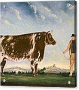 Study Of A Shorthorn Acrylic Print by William Joseph Shayer
