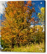 Sugar Maple 3 Acrylic Print by Steve Harrington