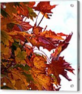 Sugar Maple Study Acrylic Print by Pamela Patch