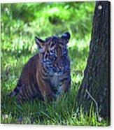 Sumatran Tiger Cub Acrylic Print by Garry Gay