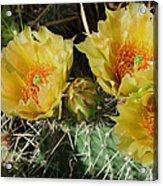 Summer Cactus Blooms Acrylic Print by Kae Cheatham