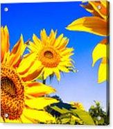 Summertime Sunflowers Acrylic Print by Bob Orsillo