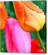 Sunday Shower Tulip Acrylic Print by Christy Phillips
