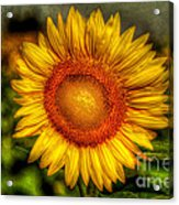 Sunflower Acrylic Print by Adrian Evans