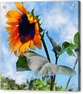 Sunflower Against The Sky Acrylic Print by Susan Savad