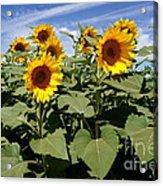 Sunflower Field Acrylic Print by Kerri Mortenson